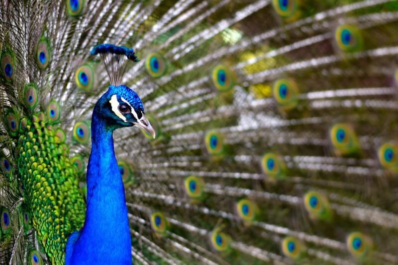 Tim Spouge - Peacock