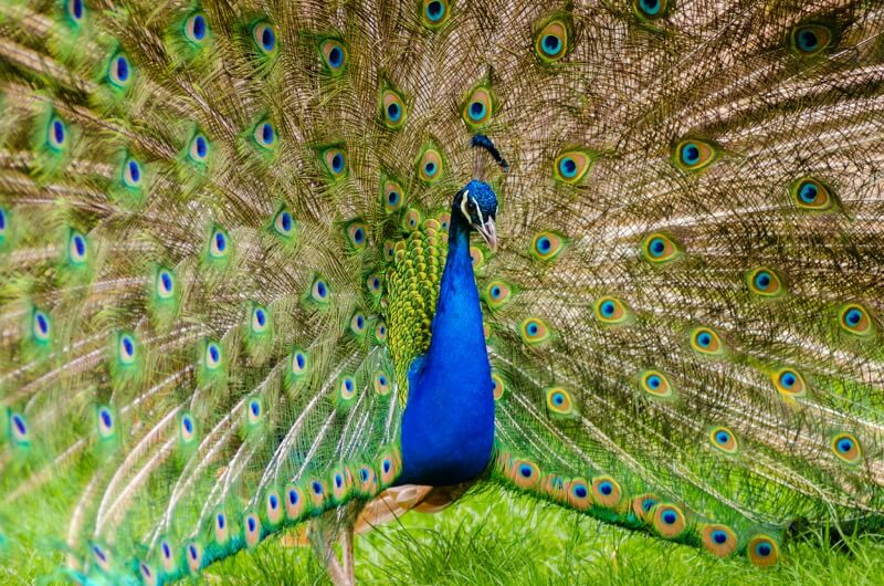 Mathias Appel - peacock