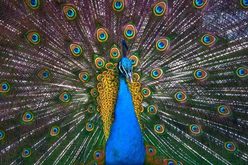 Cleia Eleny Buer - peacock colours