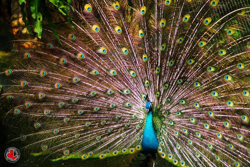 Jonathan Leung - Pretty Peacock
