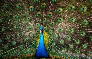 20 Beautiful Images of Peacocks
