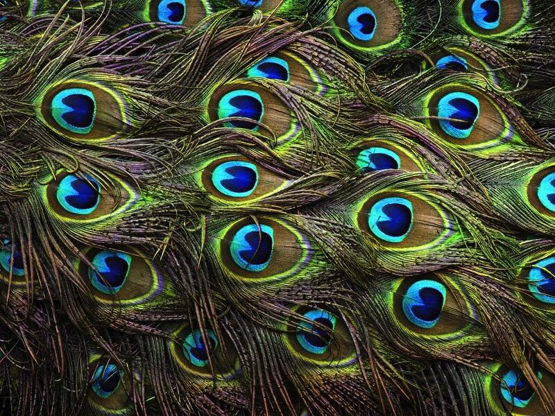 Rose Mendoza - Beautiful Peacock Feathers