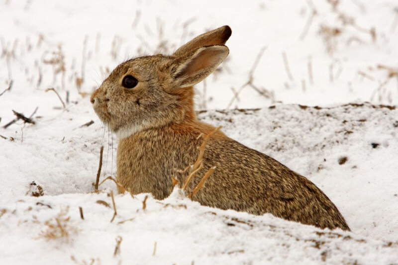 USFWS Mountain-Prairie - Snow Bunny