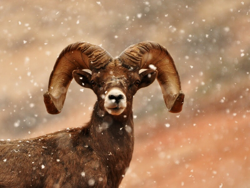 Shanthanu Bhardwaj - Bighorn in Snow