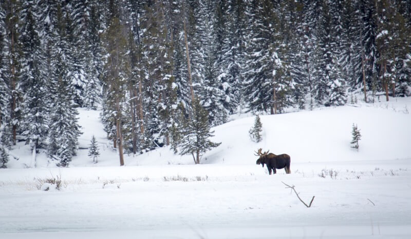 Yellowstone National Park - Bull moose along Soda Butte Creek