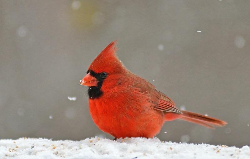 Finiky - Cardinal