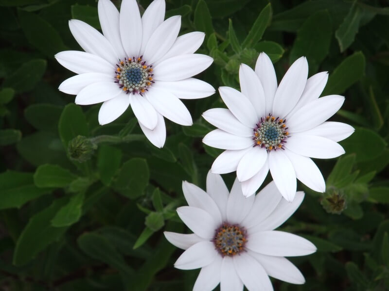 oatsy40 - Three White Flowers