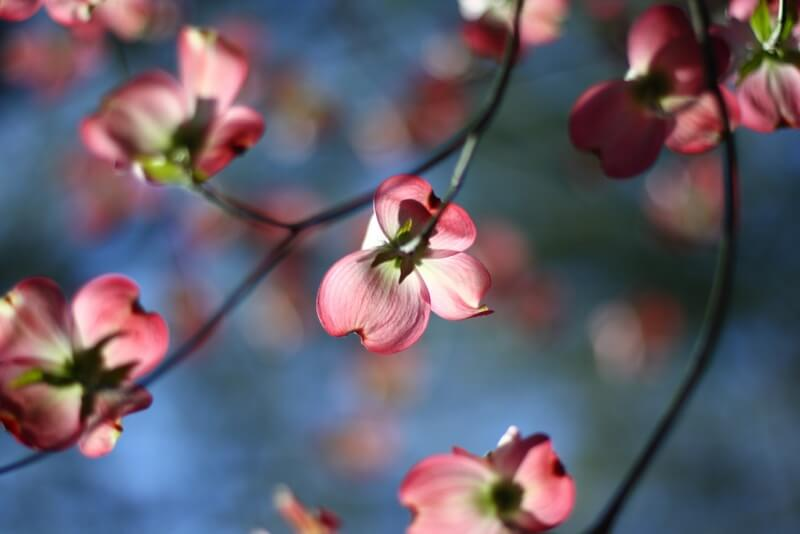 Kari Bluff - Flowering dogwood