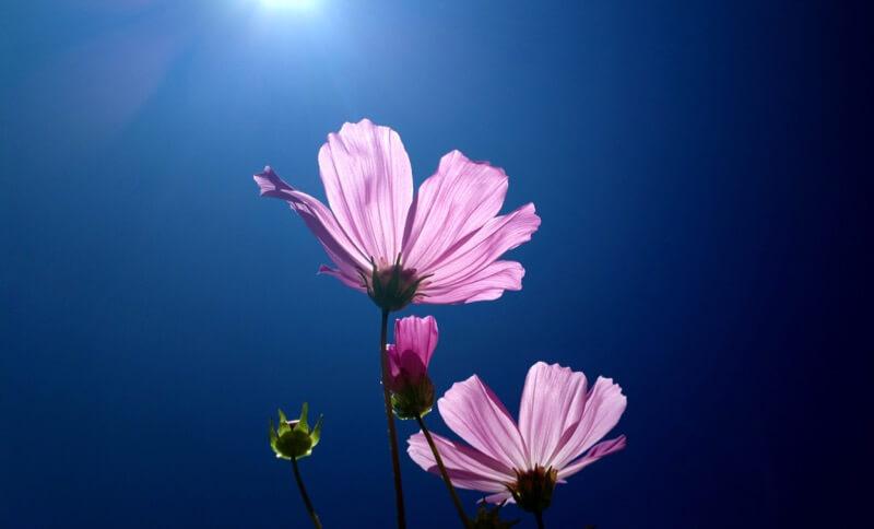 solarisgirl - Flower
