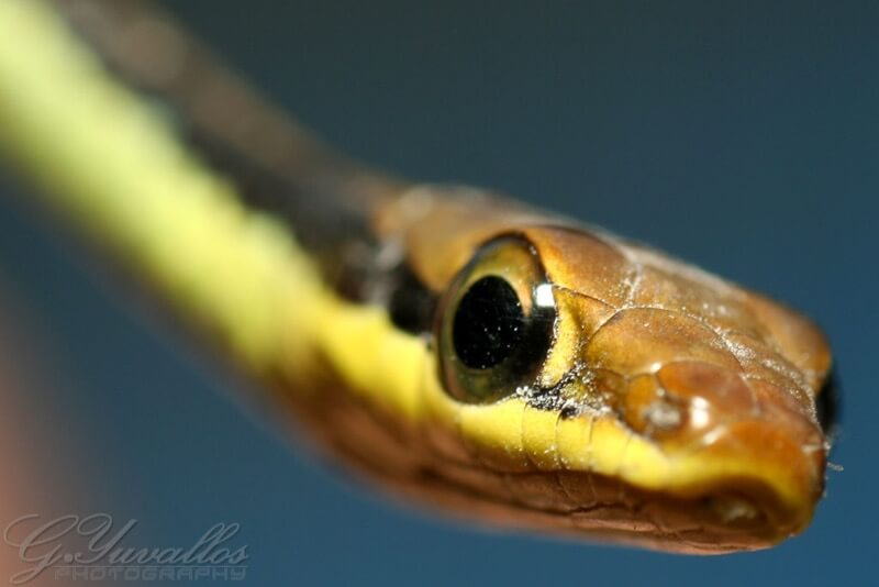 Gerald Yuvallos - Garter Snake