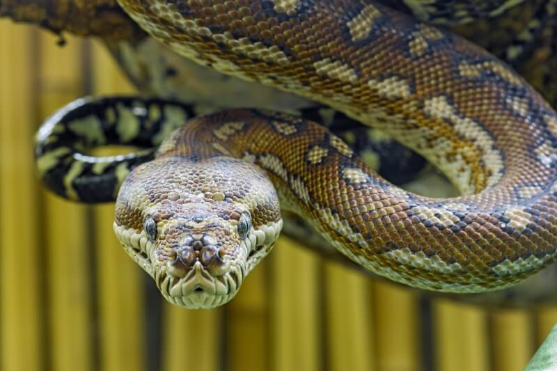 Tambako The Jaguar - Menacing snake