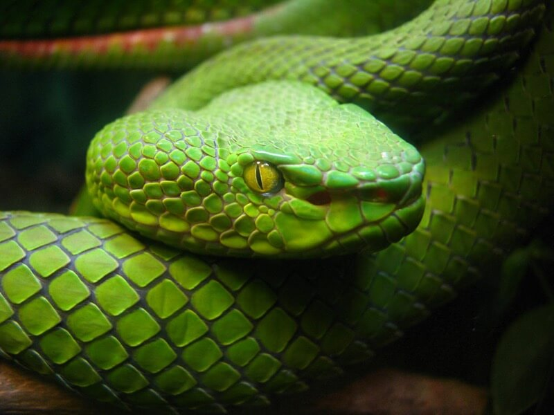 Carolyn - Snake Eye
