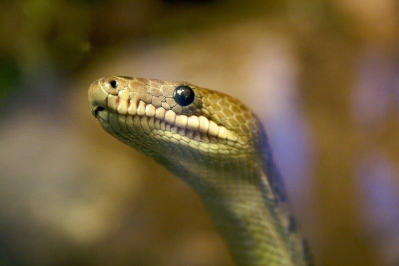 Torkild Retvedt - Snake