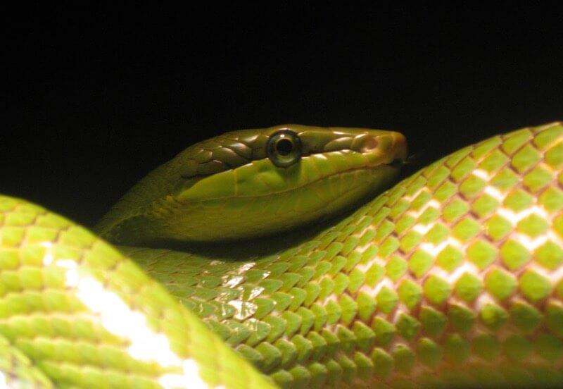 Kristine Paulus - Snake, Bronx Zoo
