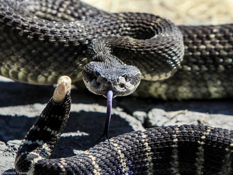 Shelly Prevost - Rattle Snake