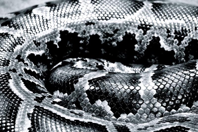 Rebecca Eisenkolb - Snake