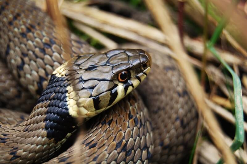 Thomas Wood - Grass Snake
