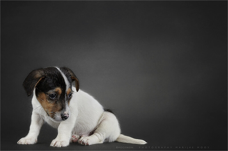 Jack Russell terrier two months puppy