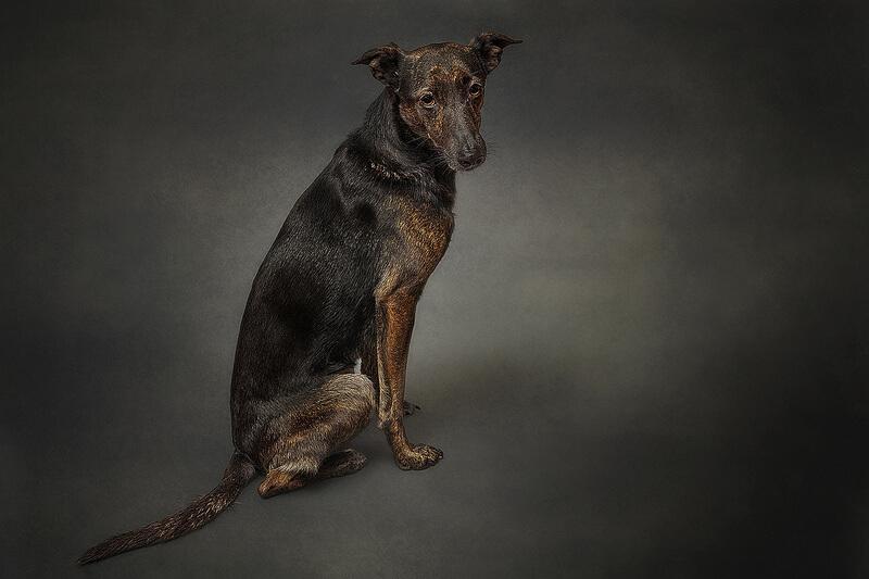crossbreed gaze hound Galgo español.
