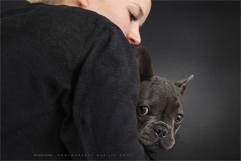 French Bulldog four months old