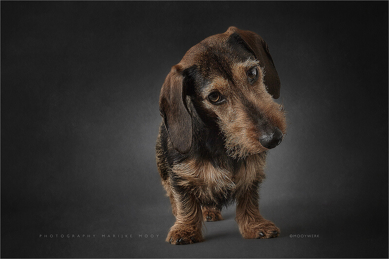 Wirehaired miniature Dachshund
