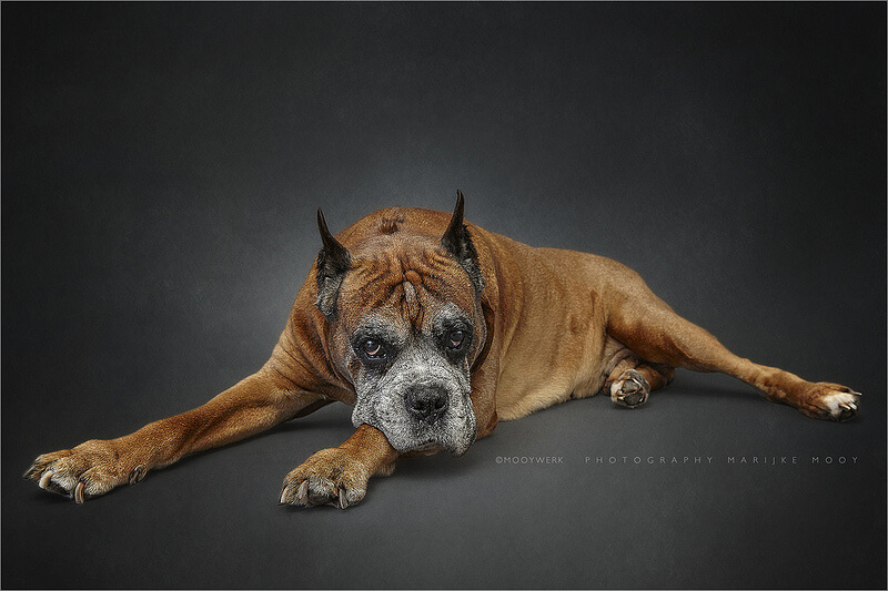 big dog portrait