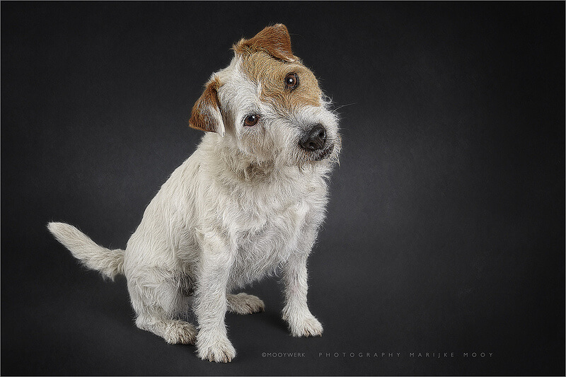 rough coated Parson Russell terrier