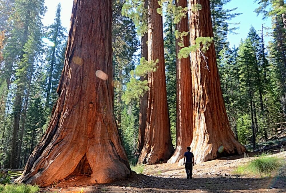 Justin Vidamo - In the Land of the Giants, Giant Sequoias of the Yosemite National Park