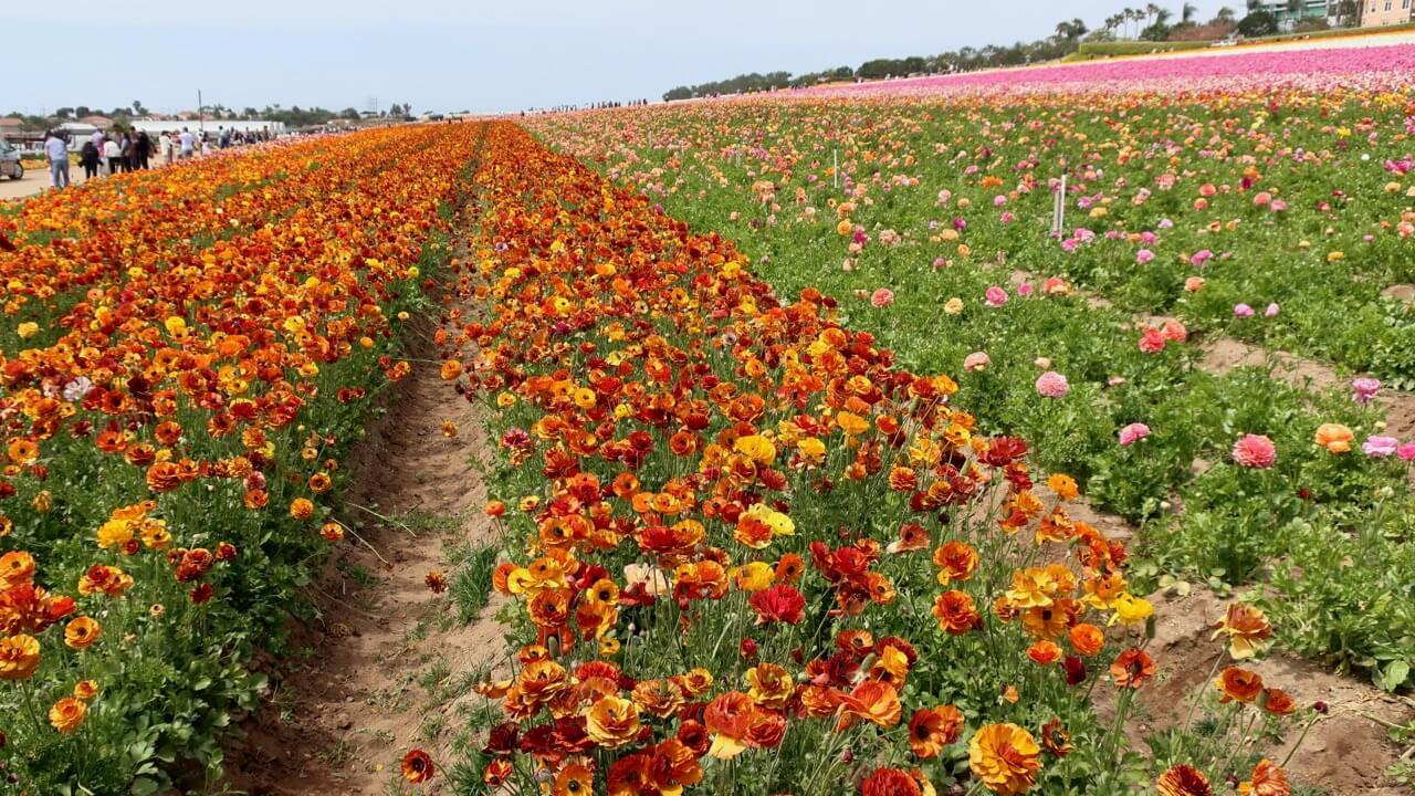 K M - The Flower Fields