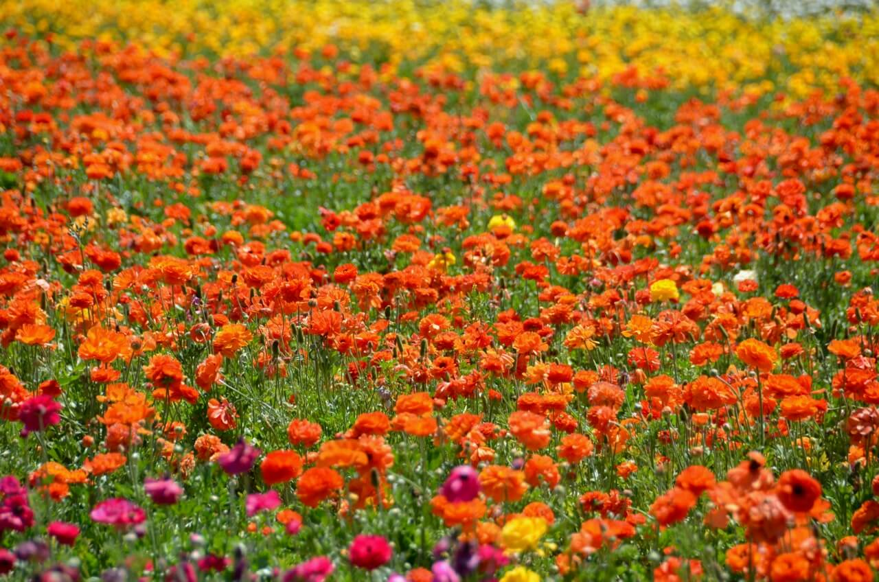 Rob Bertholf - The Flower Fields, Carlsbad, CA