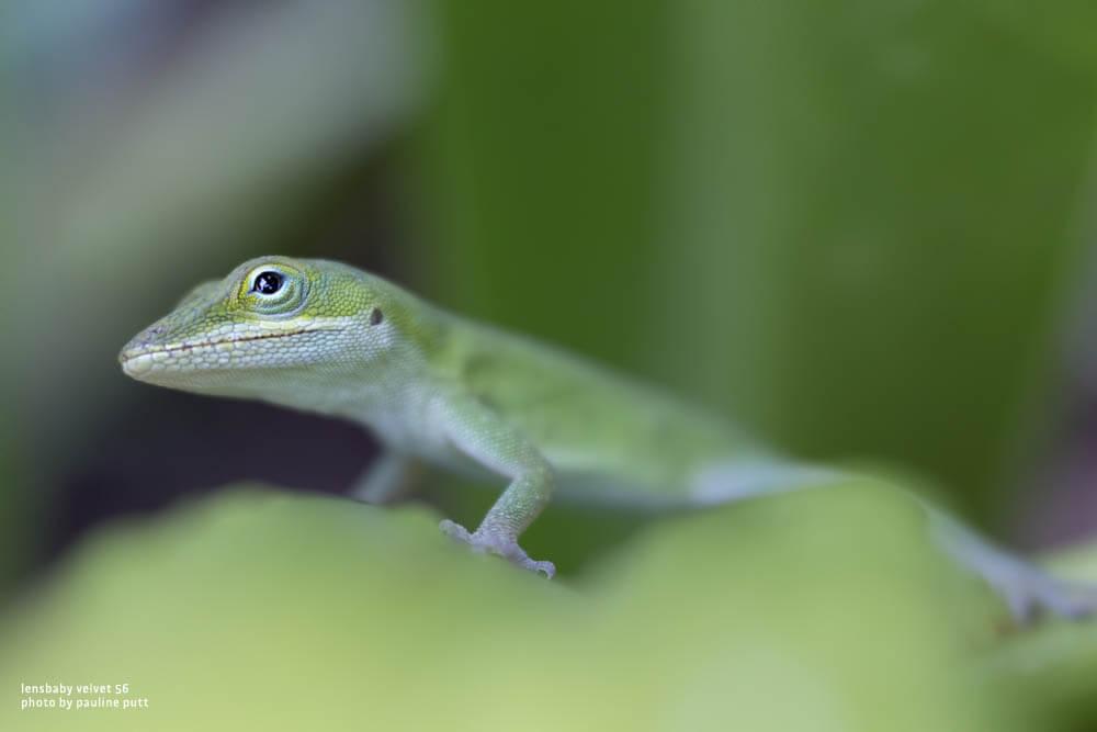 lensbaby 56 sample image gecko