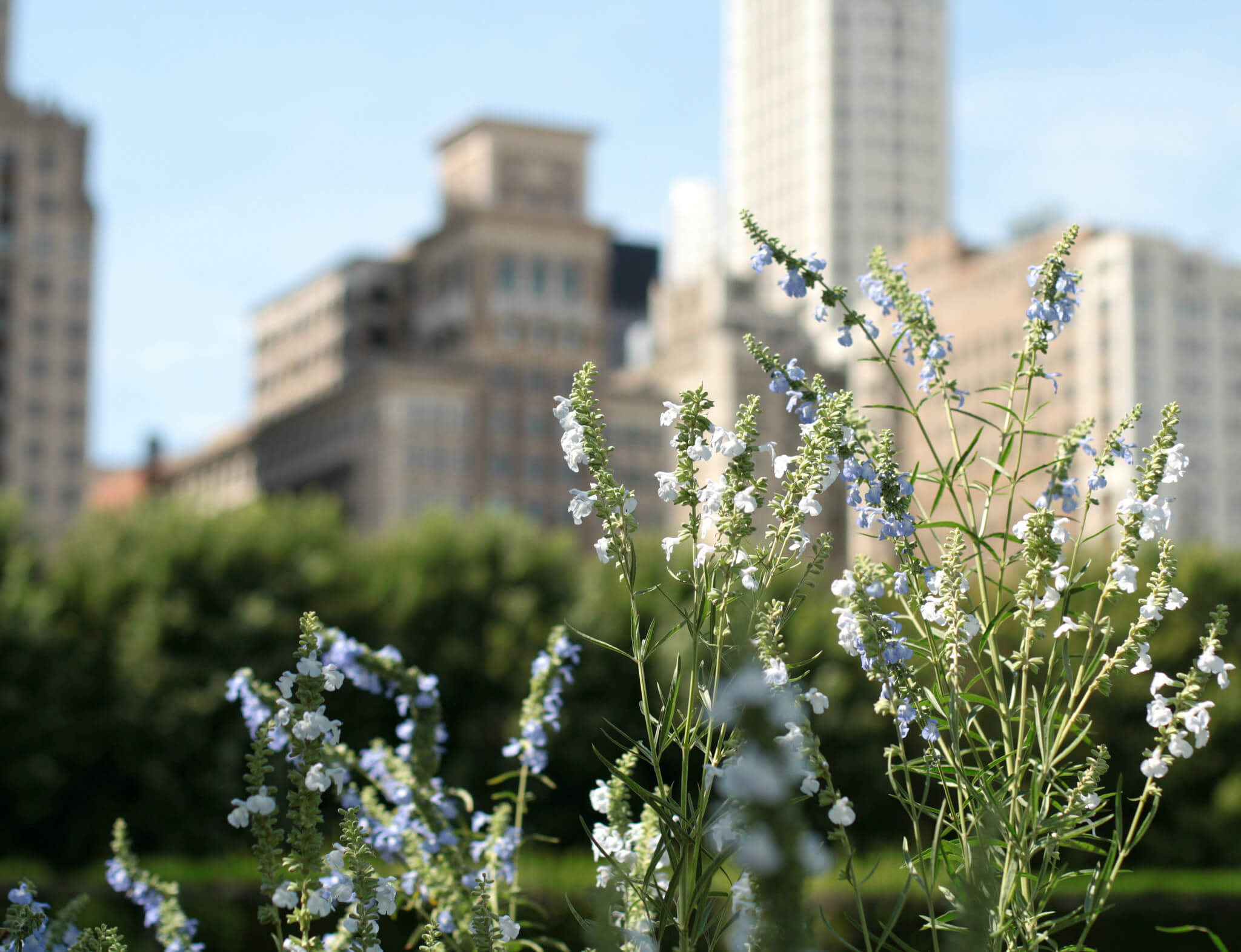 Clarice Barbato-Dunn - View From Lurie Garden, Millenium Park