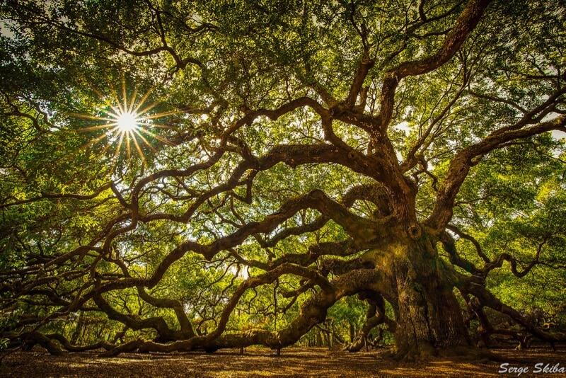 Serge Skiba - Angel Oak Tree