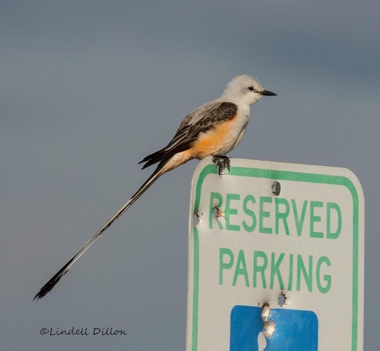 Lindell Dillon - Scissor-tailed flycatcher