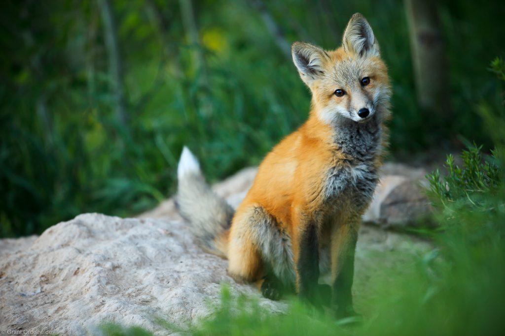 wild red fox - winter park, colorado