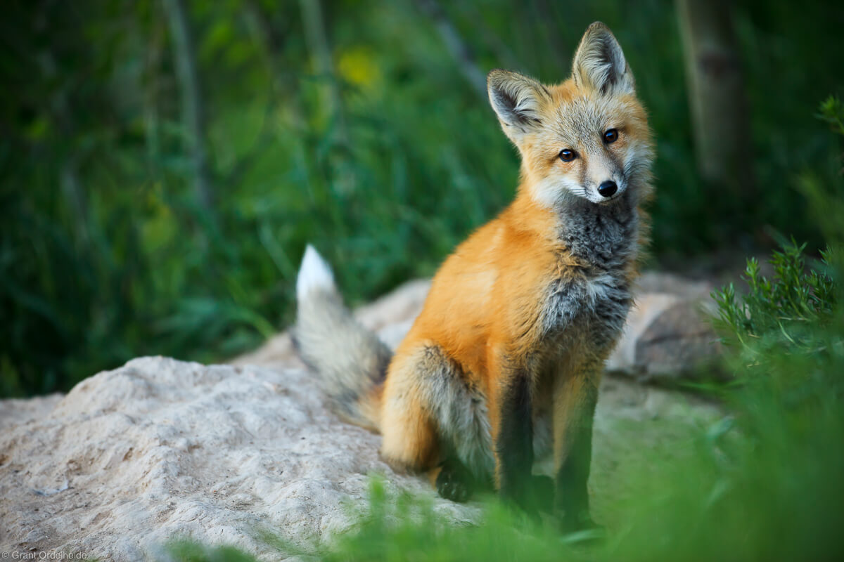 wild red fox - winter park, colorado