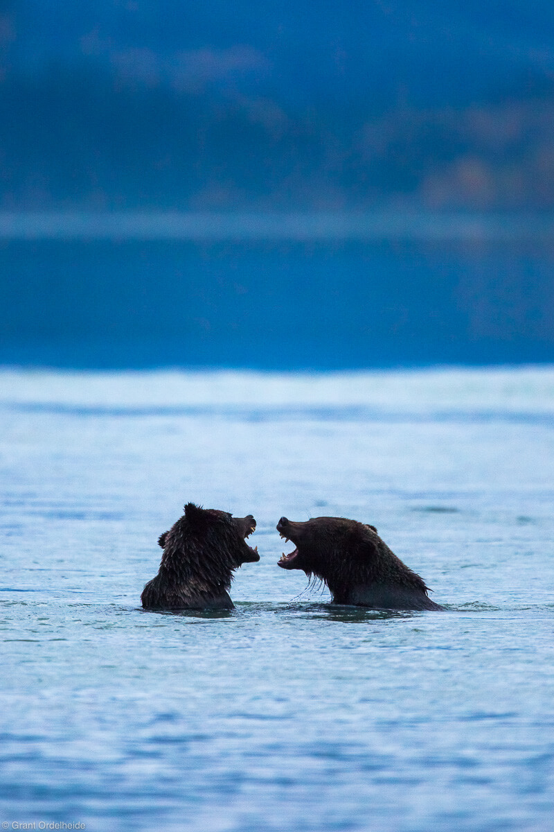 young grizzly bears - haines, alaska