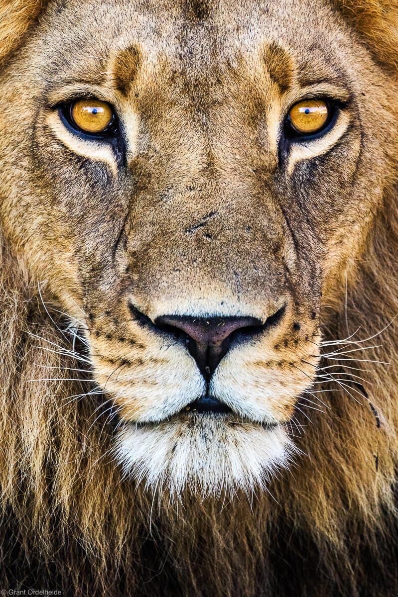 Botswana wild lion
