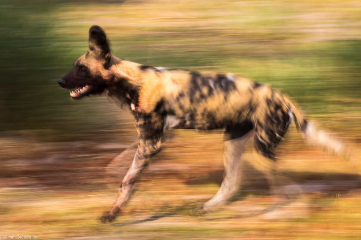 african wild dog blur