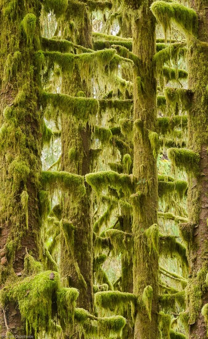 Moss covered trees in the Hoh Rainforest in Washington's Olympic National Park.