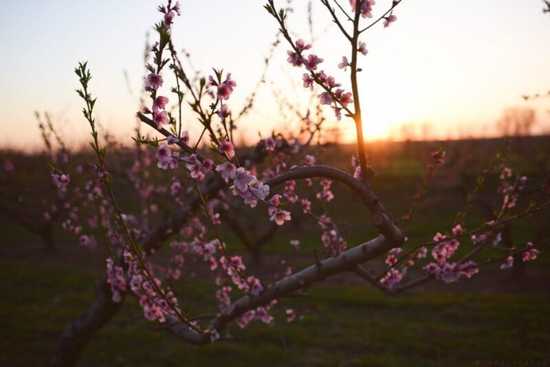 jordan park - peach tree blossoms