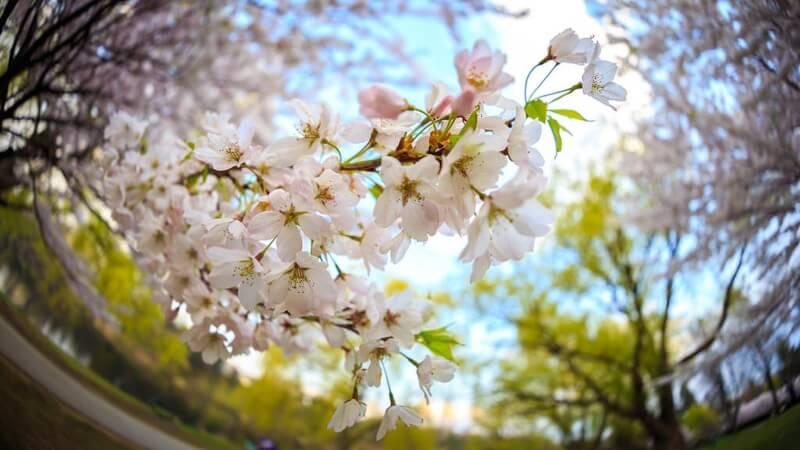 Greg David - Under the Cherry Blossoms