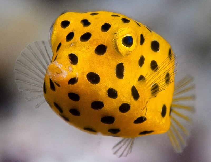 Yellow boxfish, juvenile - Ostracion cubicus
