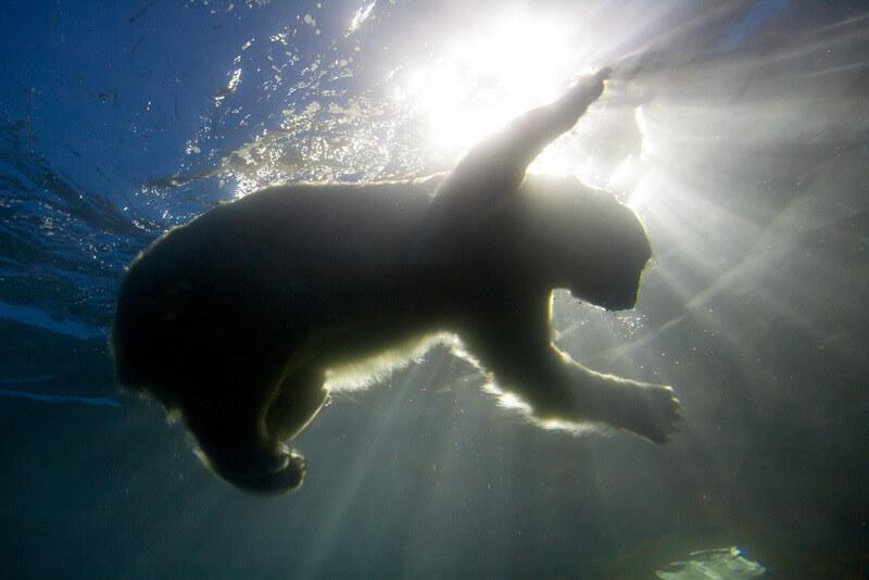 Stig Nygaard - Polar bear