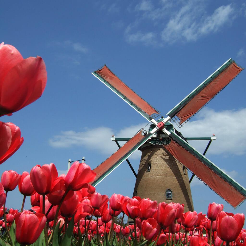 Hisakuni Fujimoto - red tulips