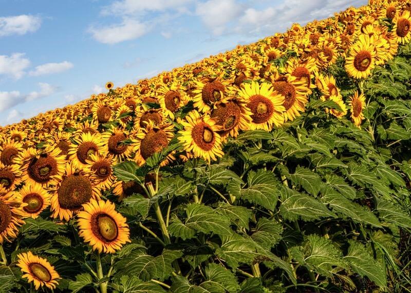 Donnie Nunley - Sunflowers