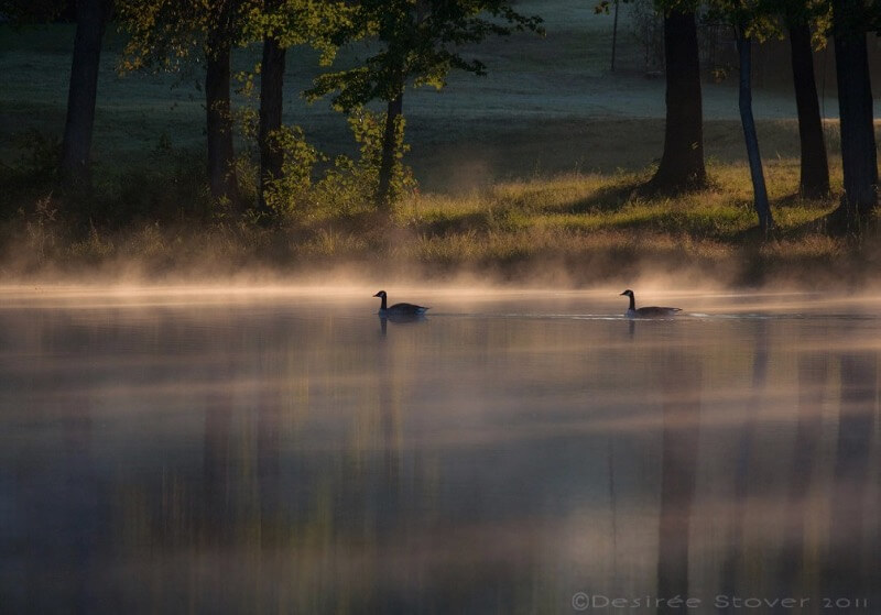 Desiree Elaine - Morning geese