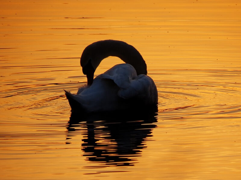Robert Felton - Swan Silhouette