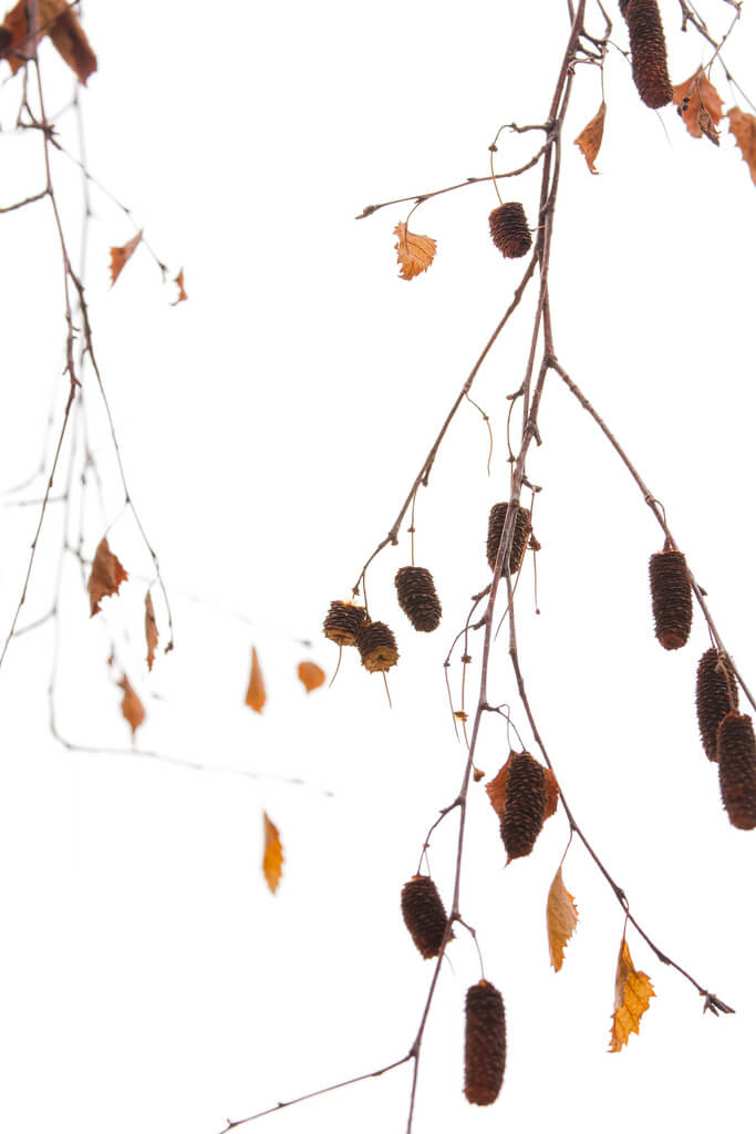 Birch autumn