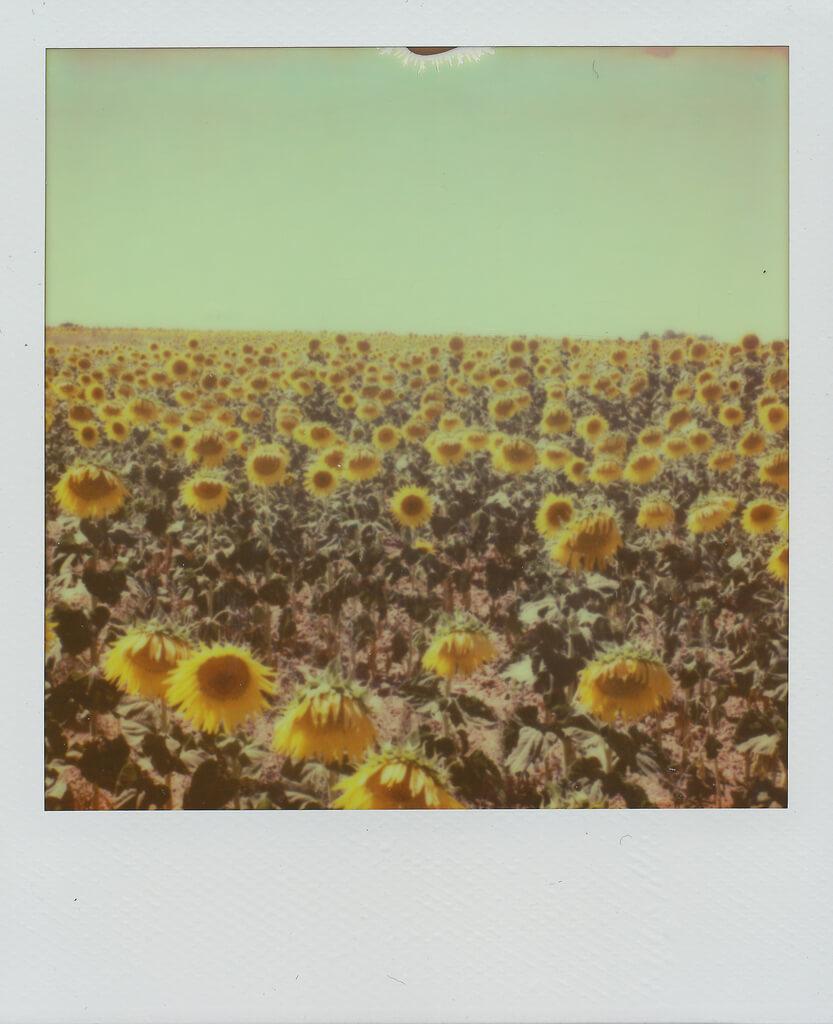 Daniel Gonzalez Fuster sunflowers